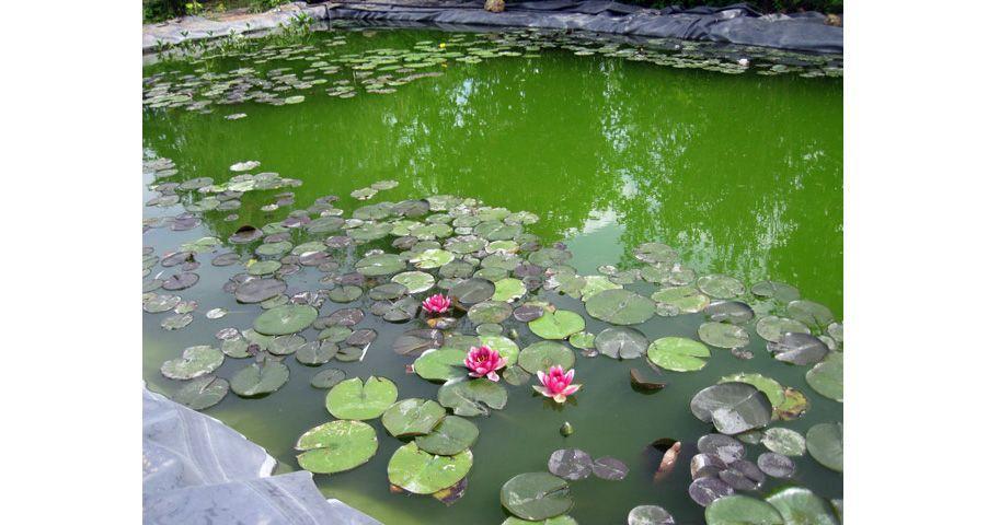 Цветение пруда